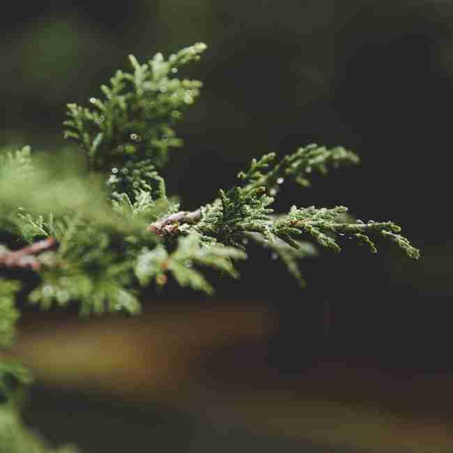 Evergreen-Branch.jpg