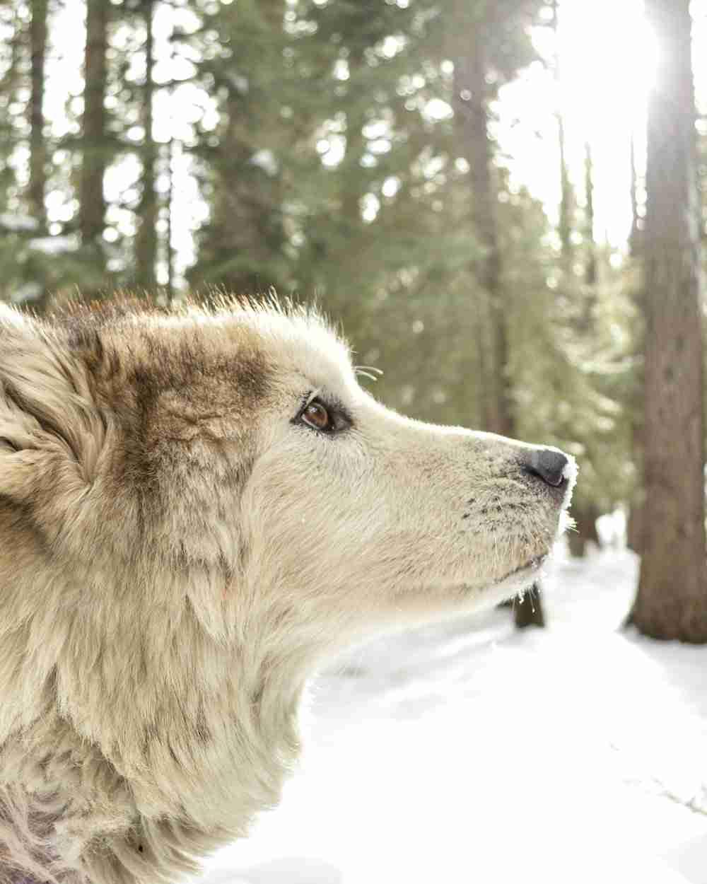 Wandering-Wolf.jpg